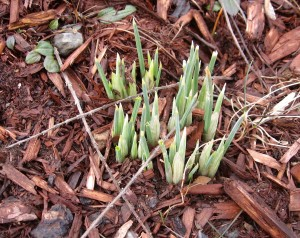 early iris shoots